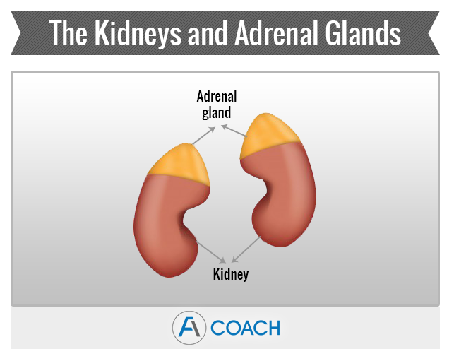 Adrenal Fatigue Glands
