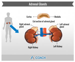 adrenal gland location
